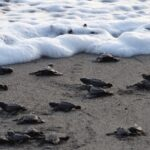 Mexico – Banderas Bay's Turtle Season