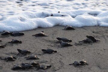 Vallarta Turtle Season